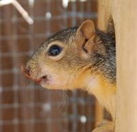 Orphaned Squirrel
