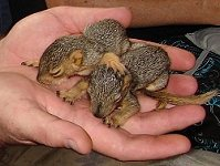 2 orphaned squirrels with eyes still closed