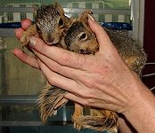 2 orphaned squirrels
