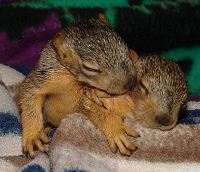 2 orphaned Fox Squirrel sisters
